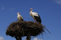 Störche im Nest Stockfotografie