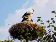 Störche im Nest Lizenzfreie Stockbilder