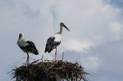 Störche im Nest lizenzfreie stockfotografie