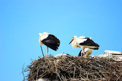 Störche im Nest auf Hausdach Lizenzfreies Stockfoto