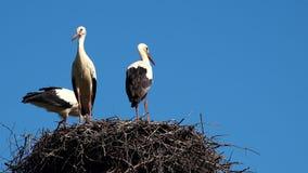 Störche im Nest auf Hintergrund des blauen Himmels stock footage