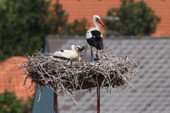 Störche im Nest vor Dächern Stockbilder