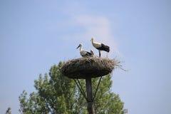 Störche mit einem Küken in einem Nest auf einem Pfosten in Capelle aan den Ijssel in den Niederlanden Stockbild