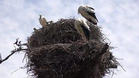Störche und Storch-Nest stock video