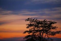 StörcheCiconia Ciconia, der im Baum am Sonnenuntergang hockt Lizenzfreie Stockfotografie