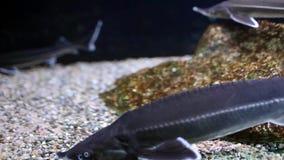 Störfische stock footage