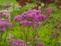 Större äng-rue för rosa färger som blommar i en trädgård royaltyfri foto