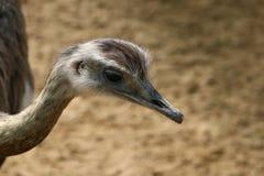 Större americana nandunandu, stor fågelinföding till östliga Sydamerika royaltyfria foton