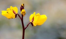 Större bladderwort i blomma arkivfoton