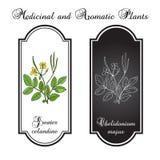 Större celandine för medicinsk ört, blommor med sidor Stock Illustrationer