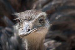 Större den americana nandunandu, flightless fågel i närbild royaltyfri bild