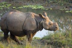 Större en horned noshörning Arkivbild