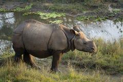 Större en horned noshörning Arkivfoton
