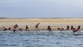 Större Flamigos tar flyg på den Walvis fjärden Namibia Royaltyfri Bild