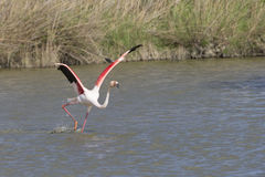 Större flamingo av Camargue Frankrike Royaltyfria Foton