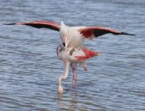Större flamingo av Camargue Frankrike Royaltyfria Bilder