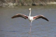 Större flamingo av Camargue Frankrike Arkivfoton