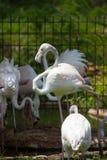 Större flamingo i zoo, Khon Kaen, Thailand arkivfoton
