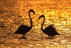 Större flamingo på soluppgång Arkivfoto