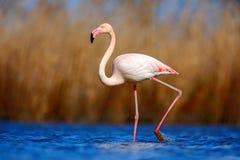 Större flamingo, Phoenicopterus ruber, härlig rosa stor fågel i mörker - blått vatten, med aftonsolen, vass i bakgrunden, anim Royaltyfri Foto