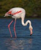 Större flamingo, phoenicopterusroseus, Camargue Arkivfoton