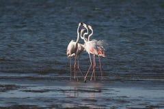 Större flamingo som huvud-sjunker på den Walvis fjärdlagun, Namibia Arkivbild
