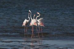 Större flamingo som huvud-sjunker på den Walvis fjärdlagun, Namibia Royaltyfri Foto