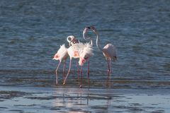 Större flamingo som huvud-sjunker på den Walvis fjärdlagun, Namibia arkivfoto