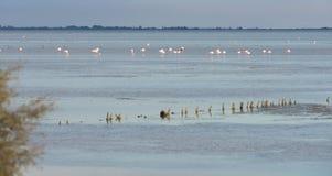 Större flamingo som står i fjärden Arkivfoton