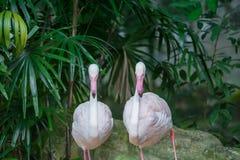 STÖRRE FLAMINGO, större flamingo som bakgrund arkivfoton