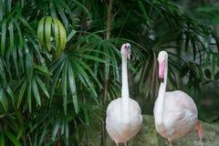 STÖRRE FLAMINGO, större flamingo som bakgrund arkivbilder