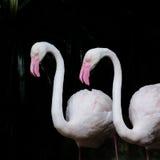 STÖRRE FLAMINGO, större flamingo som bakgrund royaltyfri fotografi