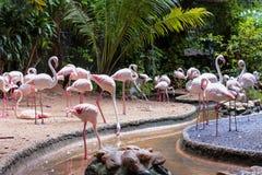 Större flamingofågel i den Dusit zoo Royaltyfri Foto