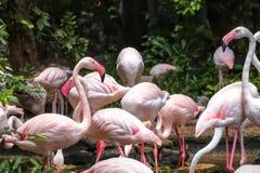 Större flamingofågel i den Dusit zoo Royaltyfria Bilder