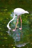 Större flamingomatningar Arkivbild