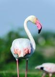 Större flamingostående - Phoenicopterus roseus Royaltyfri Foto