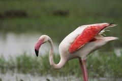 Större flamingovingar som stängs på Gujarat arkivbilder