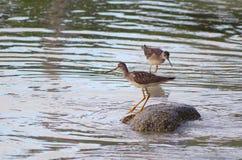 Större guling lägger benen på ryggen anseende vaggar på på kusten Arkivfoto