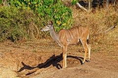 Större Kudu, antilop, Botswana royaltyfri foto