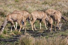 Större Kudu flock royaltyfri bild