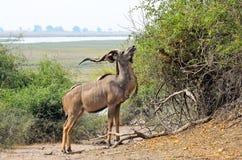 Större Kudu i den Chobe nationalparken, Botswana arkivfoto