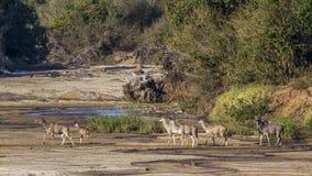 Större kudu i den Kruger nationalparken, Sydafrika royaltyfri foto