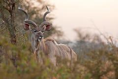 Större kudu, tragelaphusstrepsiceros royaltyfria bilder