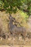Större Kudu (Tragelaphusstrepsiceros) bläddra royaltyfri foto