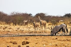 Större kudu, Tragelaphusstrepsiceros, på waterholen Etosha, Namibia royaltyfri bild