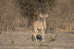 Större Kudu (Tragelaphusstrepsicerosen) arkivfoton