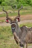 Större Kudu: Tragelaphusstrepsicerosstående, Royaltyfri Foto