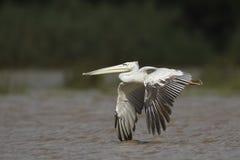Större pelikan i flighrt Arkivbild