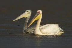Större pelikanpar Arkivbild