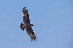 Större prickiga Eagle Royaltyfria Foton